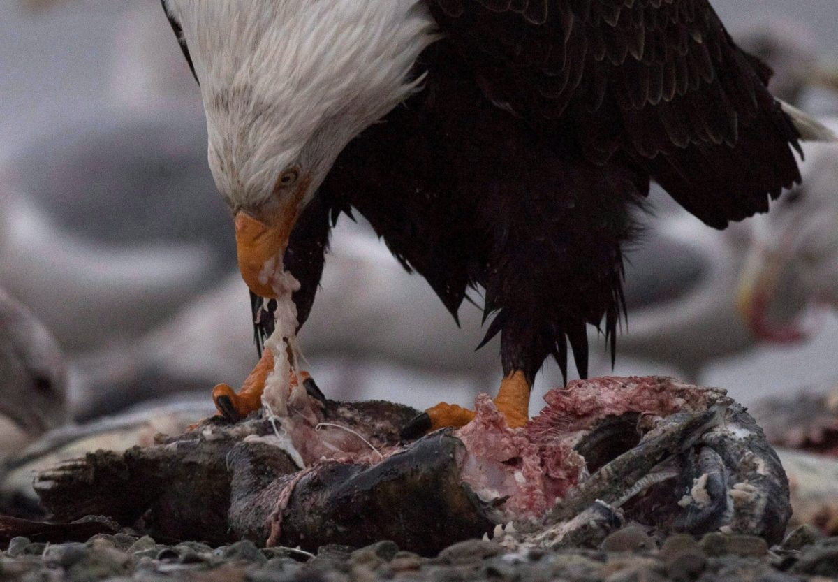 A bald eagle eating a chinook salmon along the Harrison River in Harrison Mills, British Columbia.