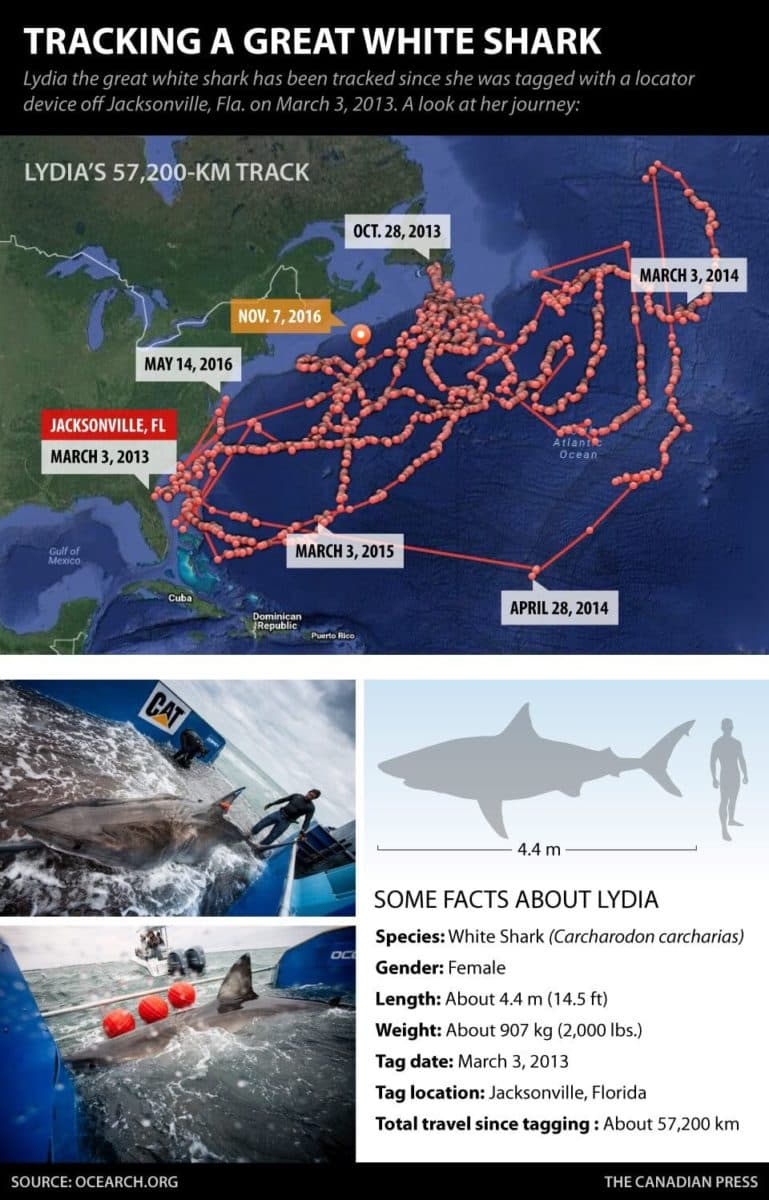 A graphic produced by The Canadian Press showing information about tracking a great white shark