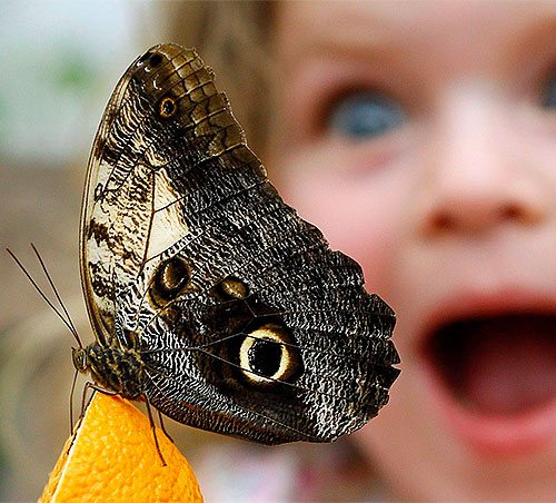A butterfly sitting on an orange while a little girl looks on with fascination.
